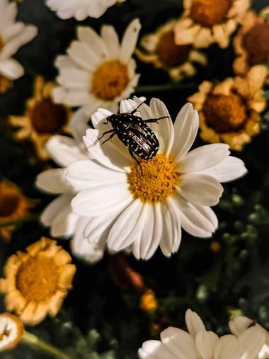 Toti Suárez en Hamelin: Fauna  (Telde), Insecto en flor. #insecto #hamelin #hamelin21 #hamelin2021 #flor #insecto