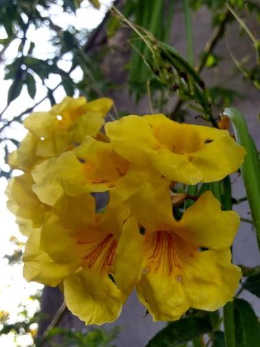 liianalfarth074 en Hamelin: Flora  (San Fernando del Valle de Catamarca), Tecoma stans
