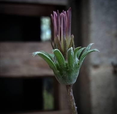 VickyOnTheRocks en Hamelin: Flora  (Liria), #daisy #margarita #mijardin #sweethome #misflores