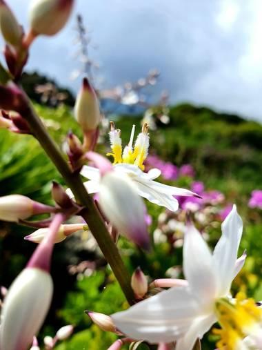 Melchique en Hamelin: Flora  (El Tanque), Simethis mattiazzii, #tenerife #canarias #flora #naturephotography #landscapephotography @melchique