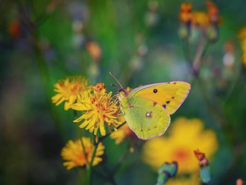 Tomasbejar en Hamelin: Fauna  (Altea), #mariposa#macro
