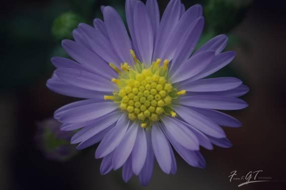 Frankgt48 en Hamelin: Flora  (Alcobendas), #flora21