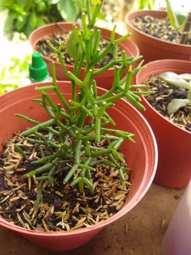 luisafp29 en Hamelin: Flora, Euphorbia tirucalli