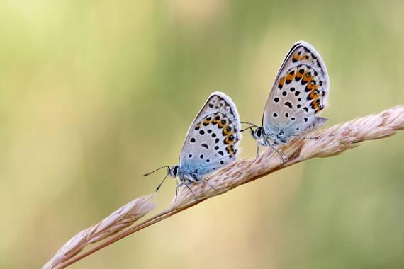 eldruida en Hamelin: Fauna  (Folgoso do Courel), Pareja de Plebejus argus. Serra do Courel. #mariposa #mariposas #macro