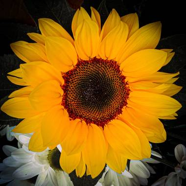 Mistela17 en Hamelin: Flora  (Villalobón), Helianthus annuus, #flora21