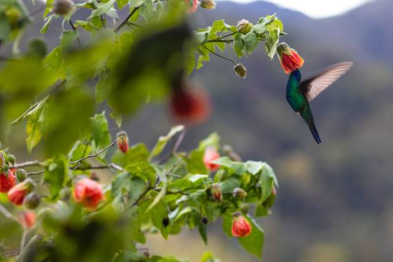 Christian Mejia en Hamelin: Fauna, A L I M E N T O 🤩  #aves #colibri #avescolombia #colombia #bird #birding #birds #nature #faunacolombiana #polen #monta...