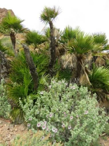 Solerantonio2 en Hamelin: Flora  (Níjar), Palmitos en el cabo de gata