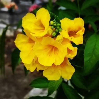 Olguin.jao en Hamelin: Flora  (Tres Valles), Tecoma stans, Flores