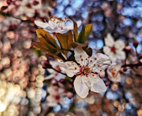 Crisofy en Hamelin: Flora  (Madrid), Prunus cerasifera, #flor
