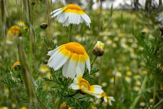 Karrete36 en Hamelin: Flora  (Benicasim), Glebionis coronaria, Es lo que tiene la primavera...flores flores y más flores!!!#karrete36#nikon5600#comunidadva...