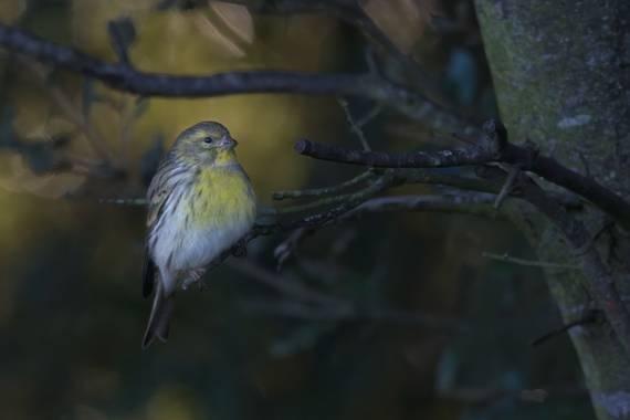 Felicia.sabater en Hamelin: Fauna  (Castellterçol), Serinus serinus (Linnaeus, 1766), #ocells_de_catalunya