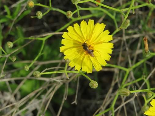 Solerantonio2 en Hamelin: Flora  (Níjar), Otro bicho en la flor