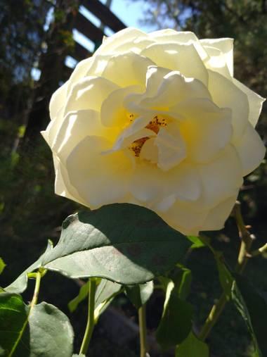 javigiordan24 en Hamelin: Flora, Rosa chinensis, #flora21