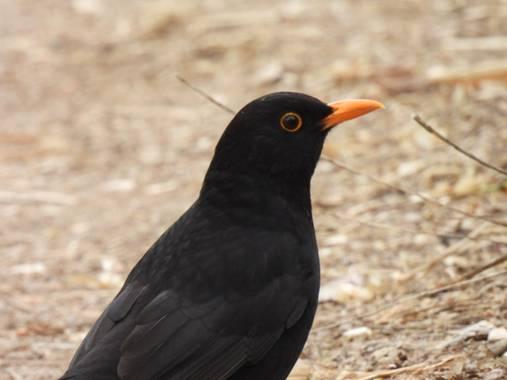 Georginaag en Hamelin: Fauna  (Tossa de Mar), Turdus merula Linnaeus, 1758, #aves #merla #birds #fauna