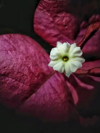 matiasrivilli en Hamelin: Flora  (Cosquín), Flor de la santa Rita #santarita #flores #florsantarita