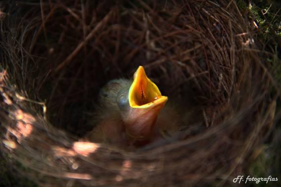 Francisco Feliciani en Hamelin: Fauna  (Hurlingham), Pichon de Zorzal Colorado esperando su alimento  #aves21 #birdwatching #birdphotography #fotografia #f...