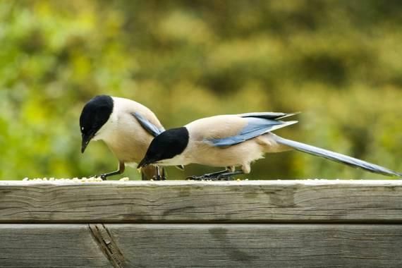 ilie77b en Hamelin: Fauna  (Manzanares el Real), Cyanopica cooki Bonaparte, 1850, #aves21