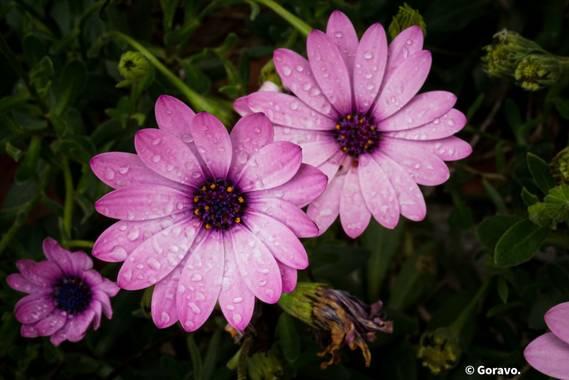 Jordi.avivar1 en Hamelin: Flora  (Montroy), #flora21