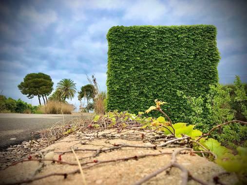 Minet.ros en Hamelin: Paisaje  (l'Alcúdia), Hiedra  #fauna#flora#paisajes#enredadera#hiedra