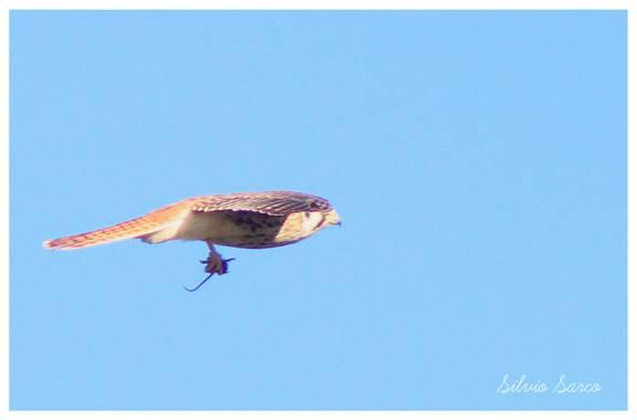 silviosarco en Hamelin: Fauna  (General Viamonte), Falco sparverius Linnaeus, 1758, Los rastrojos de maiz y soja, al finalizar la coaecha, dejan en descubi...