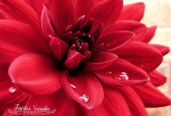 J. Inés Fuertes en Hamelin: Flora  (La Línea de la Concepción), Dahlia pinnata, Las flores son una afirmación orgullosa de que un rayo de belleza supera en...