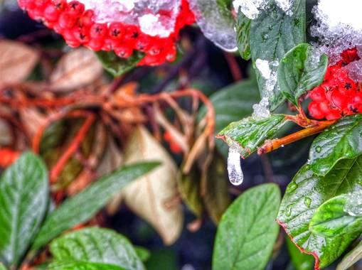 Rafaelcastillo59 en Hamelin: Flora  (Albacete), Cotoneaster bajo la nieve #invierno20