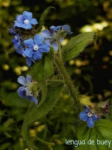 Mpinfante en Hamelin: Flora, Pentaglottis sempervirens, .