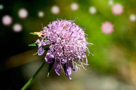 manuel.torres1 en Hamelin: Flora  (Setcases), #flor  #flor alta montaña  #Pirineos  @Echinops ritro