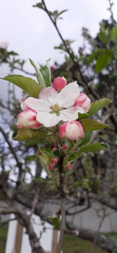 Maruchipo en Hamelin: Paisaje, Tiene una flores rosa claro con blanco