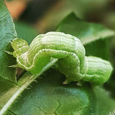 Catalinaruizgarcia en Hamelin: Fauna  (Palma), gusano#hojas#alimento#ricorico