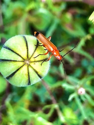 Marcbg en Hamelin: Fauna  (Vinyols i els Arcs), #naturephotography #nature #insectos #insect #coleoptero #hamelin