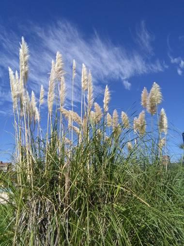 Gabrytersiese en Hamelin: Flora  (Santa Fe), Cortaderia selloana, Costanera Santa Fe