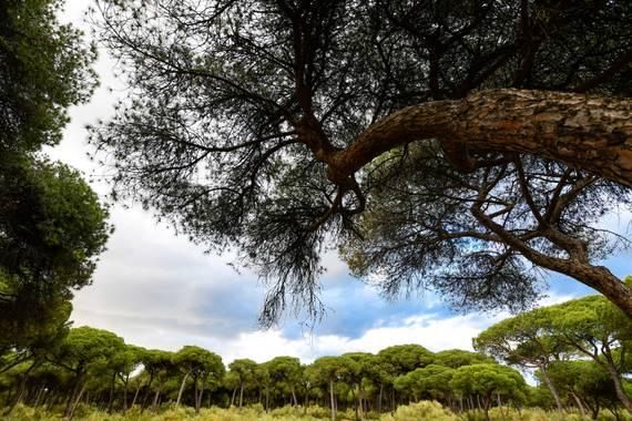 Ninigabi en Hamelin: Paisaje  (Isla Cristina), Pinares de Isla Cristina  #pinar