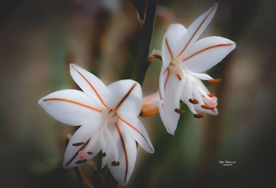 Lidia__lmr38 en Hamelin: Flora  (Zaragoza), Asphodelus fistulosus, Flores silvestres  #floressilvestres #hamelin