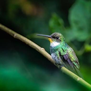Marcos en Hamelin: Fauna  (Sierra de los Padres), Leucochloris albicollis (Vieillot, 1818), Colibrí garganta blanca #mardelplata #colibris