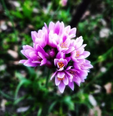 Naomi en Hamelin: Flora  (Barcelona), Allium roseum, 🌸