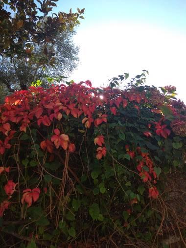 Jositocerro en Hamelin: Flora  (La Aceña de la Borrega)