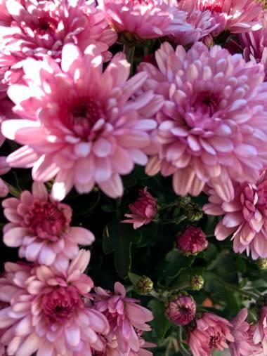 Aitana Celada en Hamelin: Flora  (Torrelavega), Nunca olvidemos de donde venimos.  #flor #capullo #free #life #crisantemo