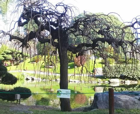 marbar666 en Hamelin: Flora, #parquesyjardines   Nombre común o vulgar: Morera llorona, Morera péndula.  - Familia: Moraceae.  - La variedad de la morera ...