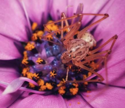 Jesús García en Hamelin: Fauna  (Sant Joan Despí), #spider #arañatigre #margarita