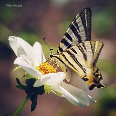 Yatoma66 en Hamelin: Fauna  (Madrid), Iphiclides podalirius (Linnaeus, 1758), Paseando por el Botánico  Real Jardín Botánico de Madrid #parquesyjardines