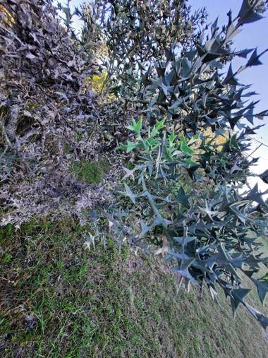 K.loresosa en Hamelin: Flora, Colletia paradoxa