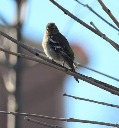 dalopri_ en Hamelin: Fauna  (Segovia), Fringilla coelebs Linnaeus, 1758, #PaparazziAves #Fauna #Segovia #Invierno #Aves