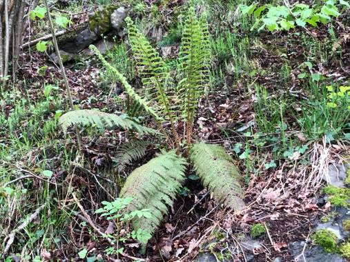 Naturalezadebarrio en Hamelin: Flora  (Bausen), Helechos##flora21#naturalezadebarrio@naturalezadebarrio