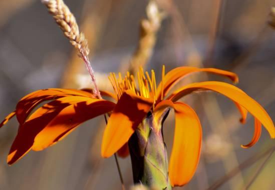 martinez.soledad en Hamelin: Flora  (Río Pico), Mutisia acuminata, #patagoniaargentina  Esta flor posee una leyenda de pueblos originarios que cuenta el or...