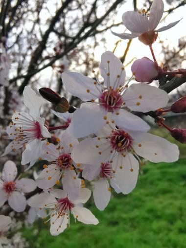 Irantzu_M en Hamelin: Flora  (Vitoria), Prunus cerasifera, #naturaleza