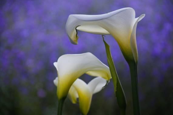 mantigua-gil en Hamelin: Flora  (El Paso), Zantedeschia albomaculata, #primavera