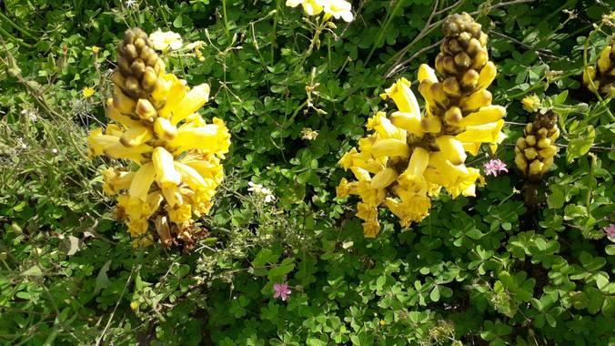 Solerantonio2 en Hamelin: Flora  (Níjar), Flores en la playa de aguamarga
