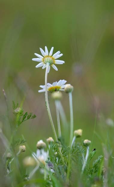 Tonigarduno86 en Hamelin: Flora  (Serradilla del Arroyo), Anthemis arvensis, #flora21