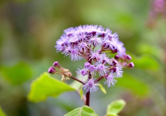 ralphlagarillo en Hamelin: Flora  (Casabermeja), #flora21